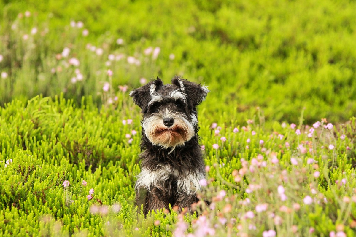 Miniature Schnauzer puppy in a field
