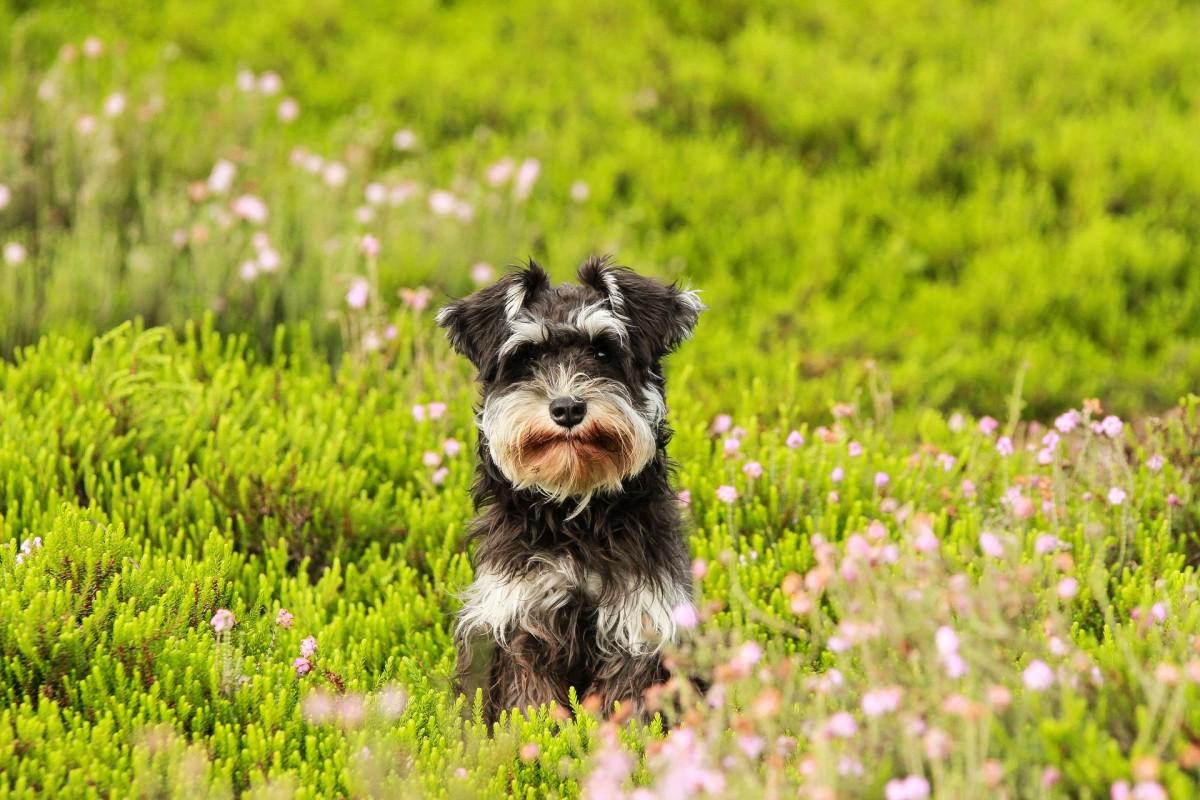 Miniature Schnauzer puppy in a field