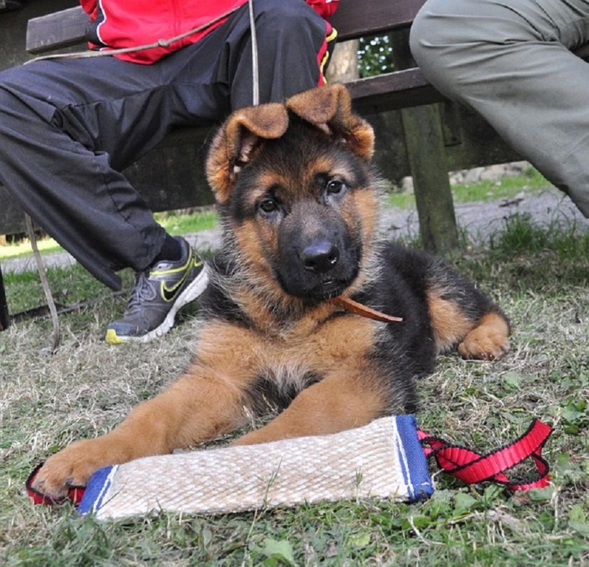 When Will My German Shepherd S Ears Stand Up Pethelpful