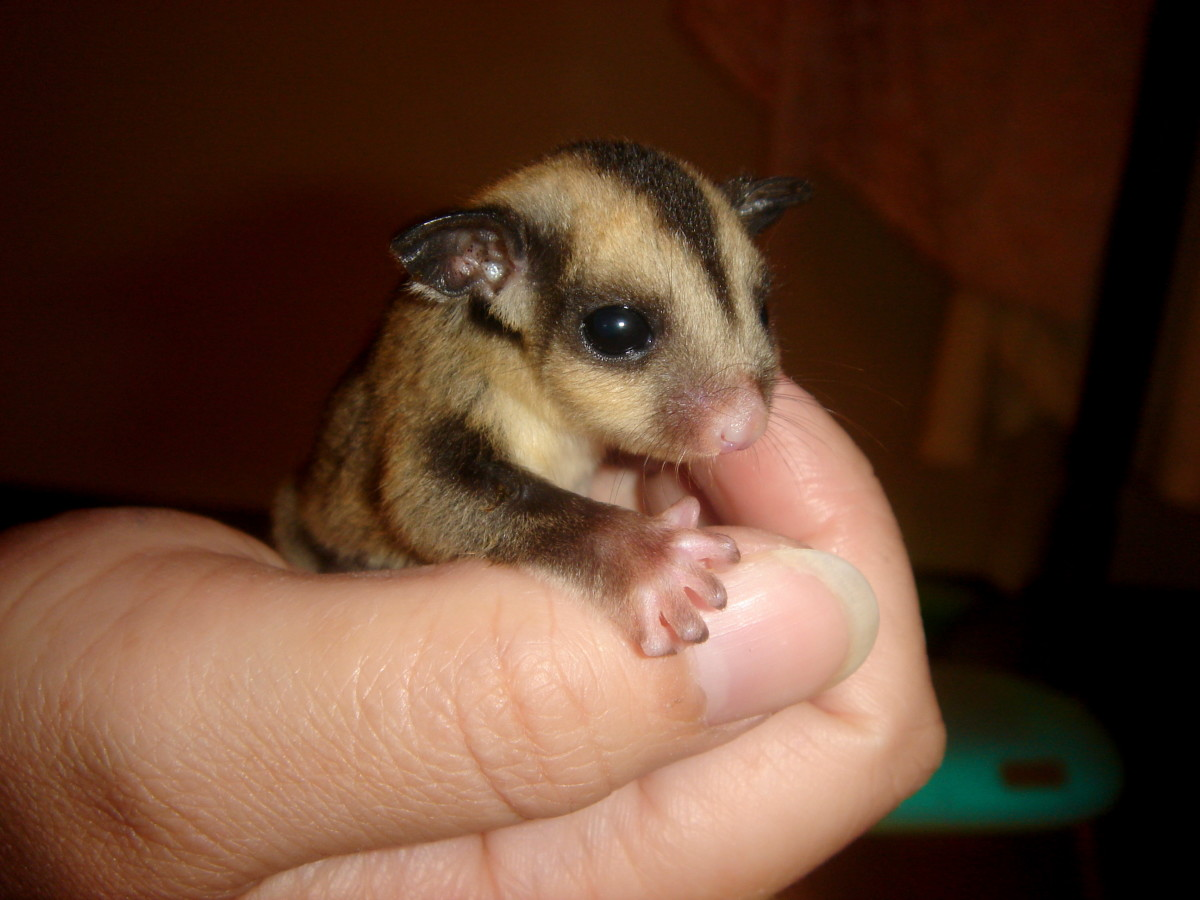 A baby sugar glider at an impressionable age.
