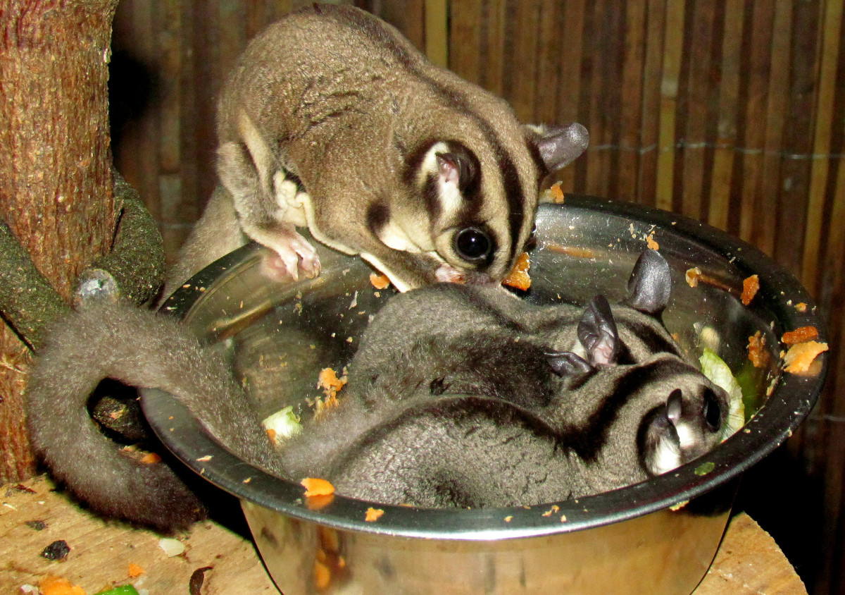 Sugar gliders should receive a wide variety of natural foods.