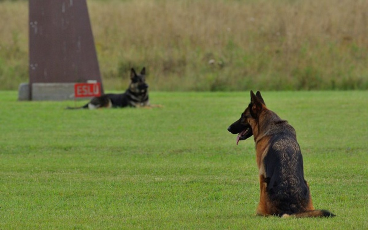 German Shepherds are renown for their intelligence, obedience, and athleticism.