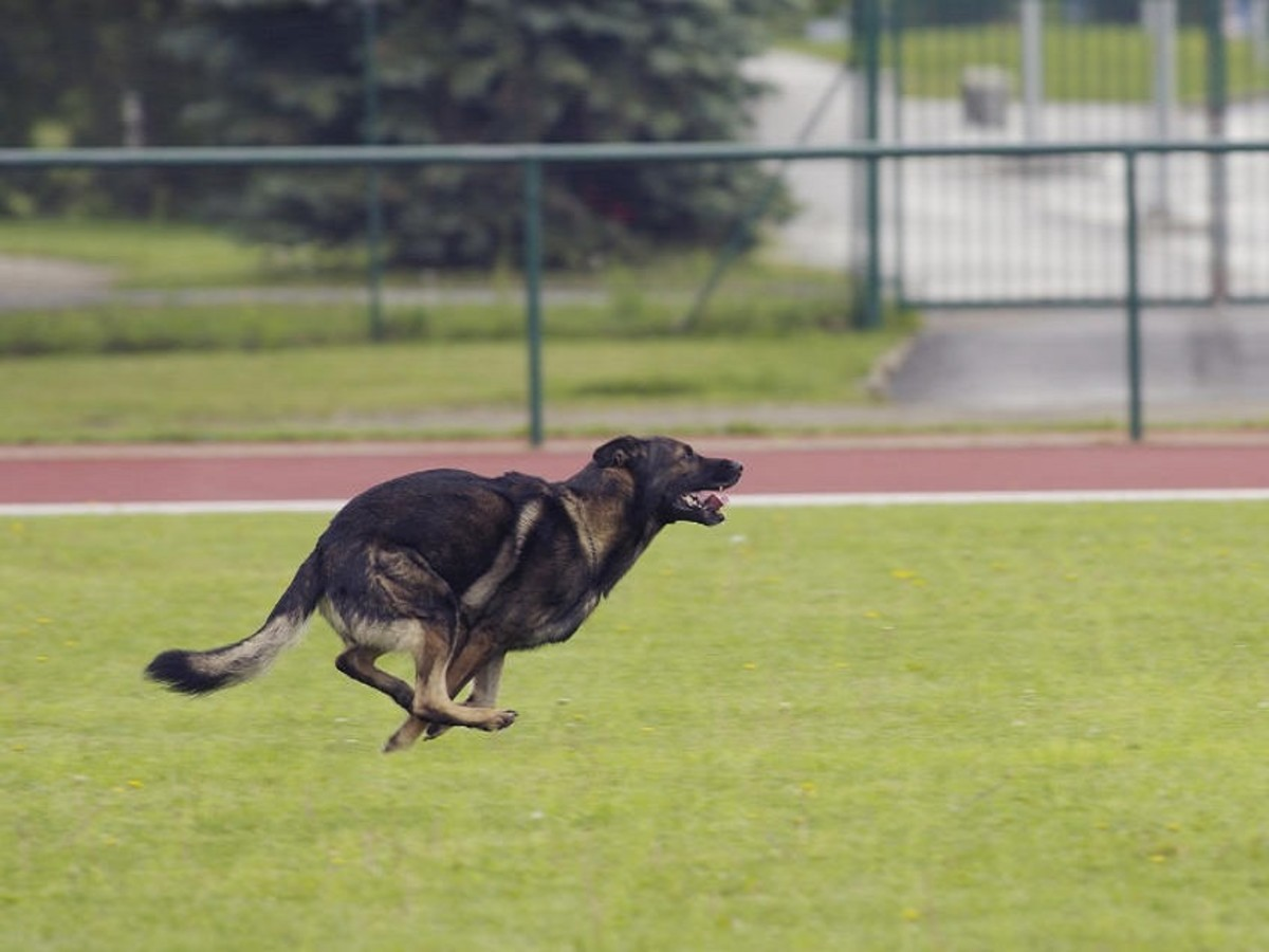 German Shepherds require mental stimulation to prevent them from becoming bored and destructive.