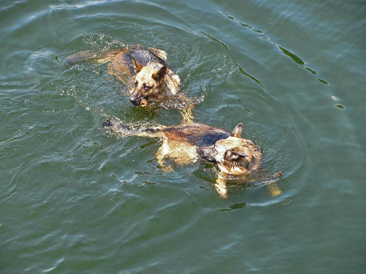 Swimming is an excellent activity for dogs and it is easy on their joints.
