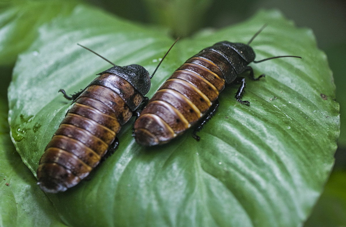 Madagascar hissing cockroaches may not be cuddly, but they make great pets!