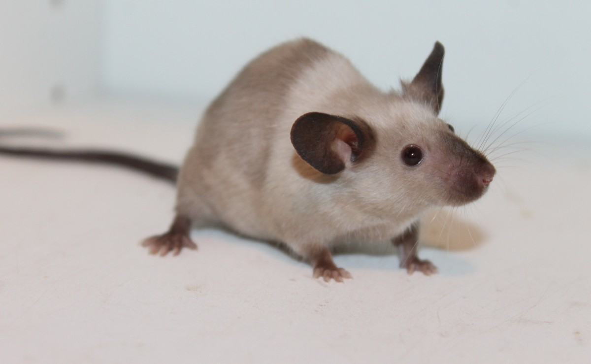 Just like fancy rats, fancy mice make for sweet and inquisitive pets.