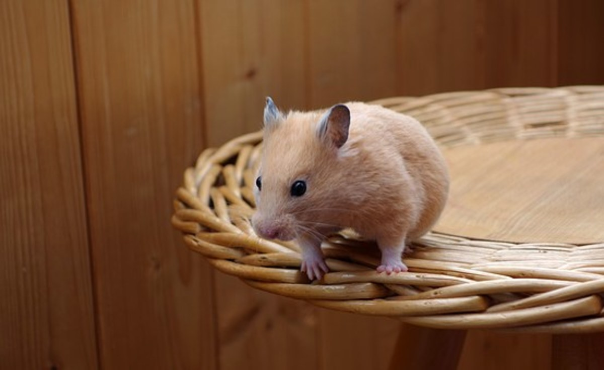 Hamsters are excellent pets and easy to care for.