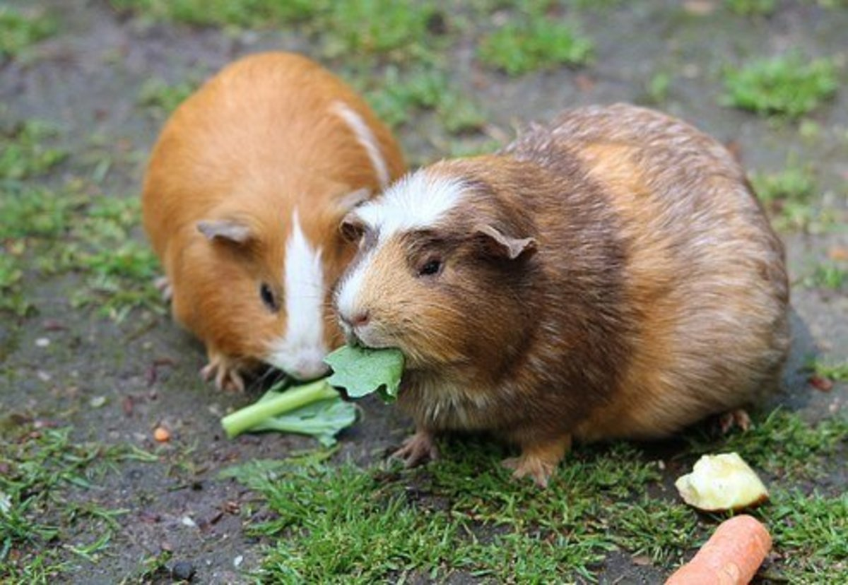 Guinea pigs are affectionate and easy to care for.