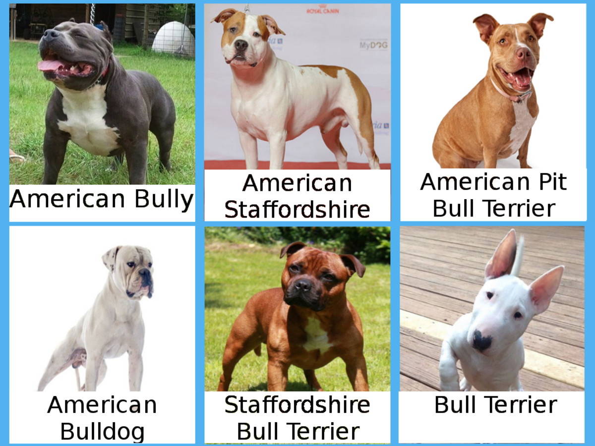 The American Bulldog and Bull Terrier are often miscategorized as pit bulls.