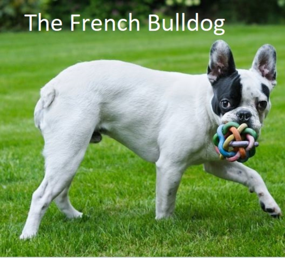 a-guide-to-the-different-types-of-bulldogs
