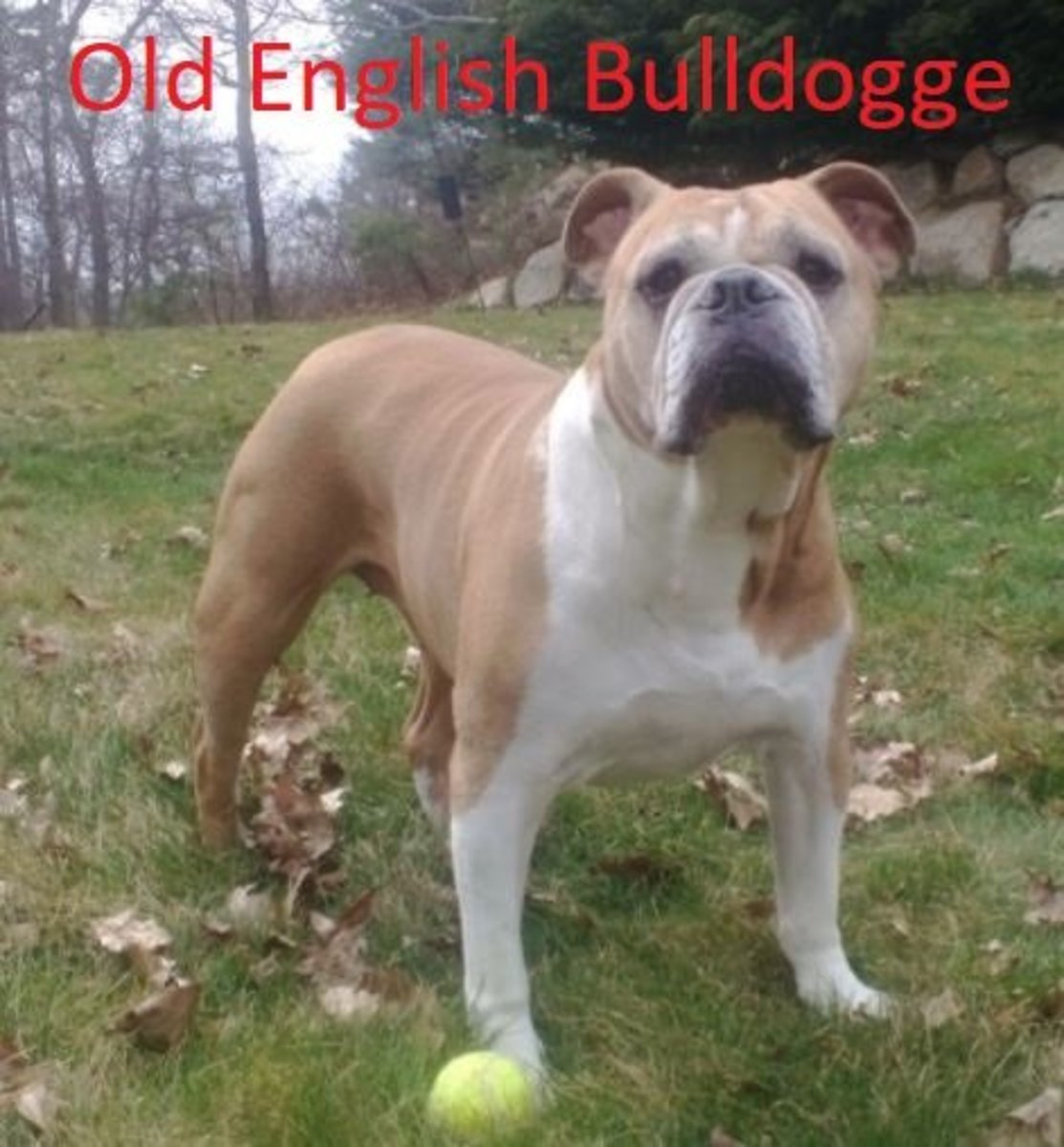 UKC Olde English Bulldogge female at eight years old Ss 051 - Photo taken on Easter 2013 CC BY-SA 3.0