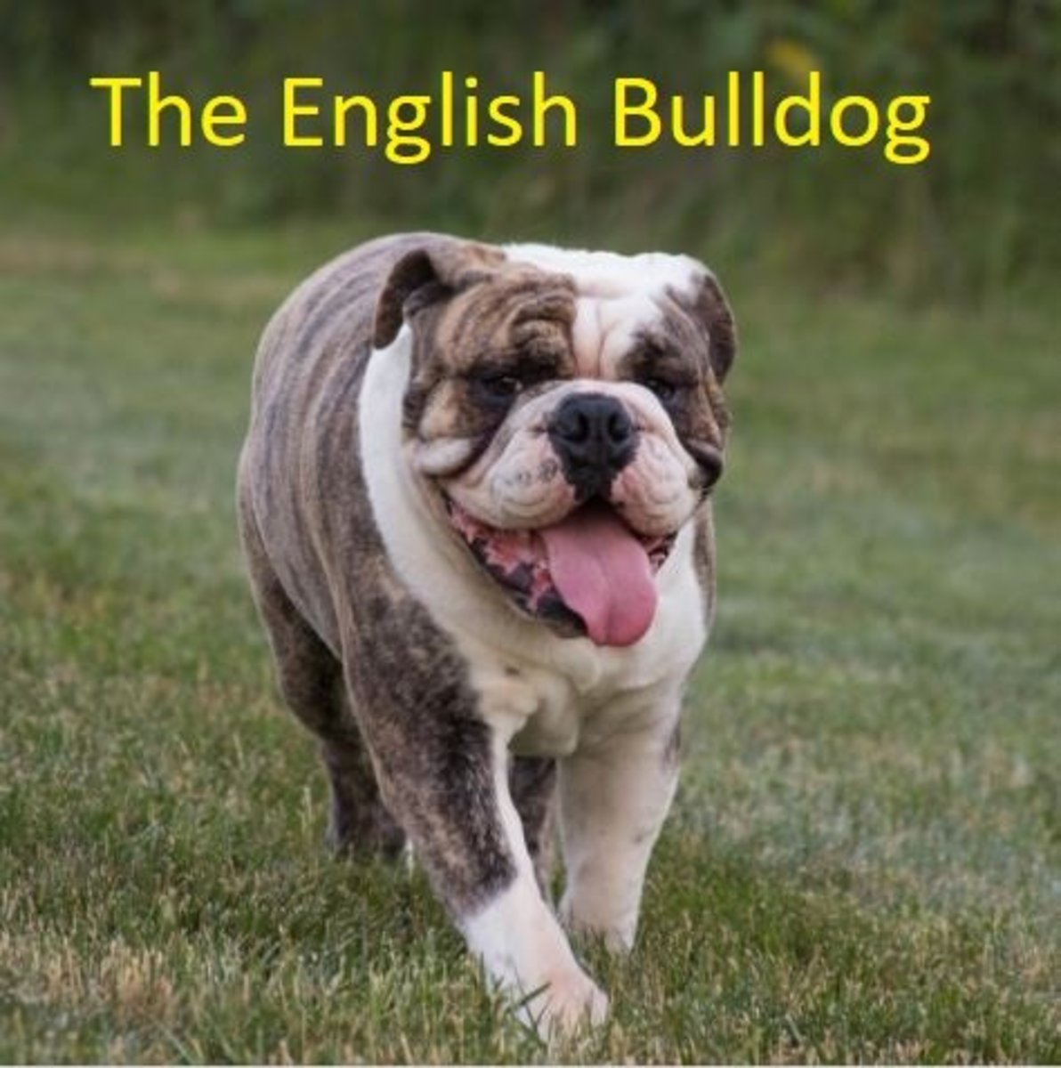 A Guide To The Different Types Of Bulldogs Pethelpful