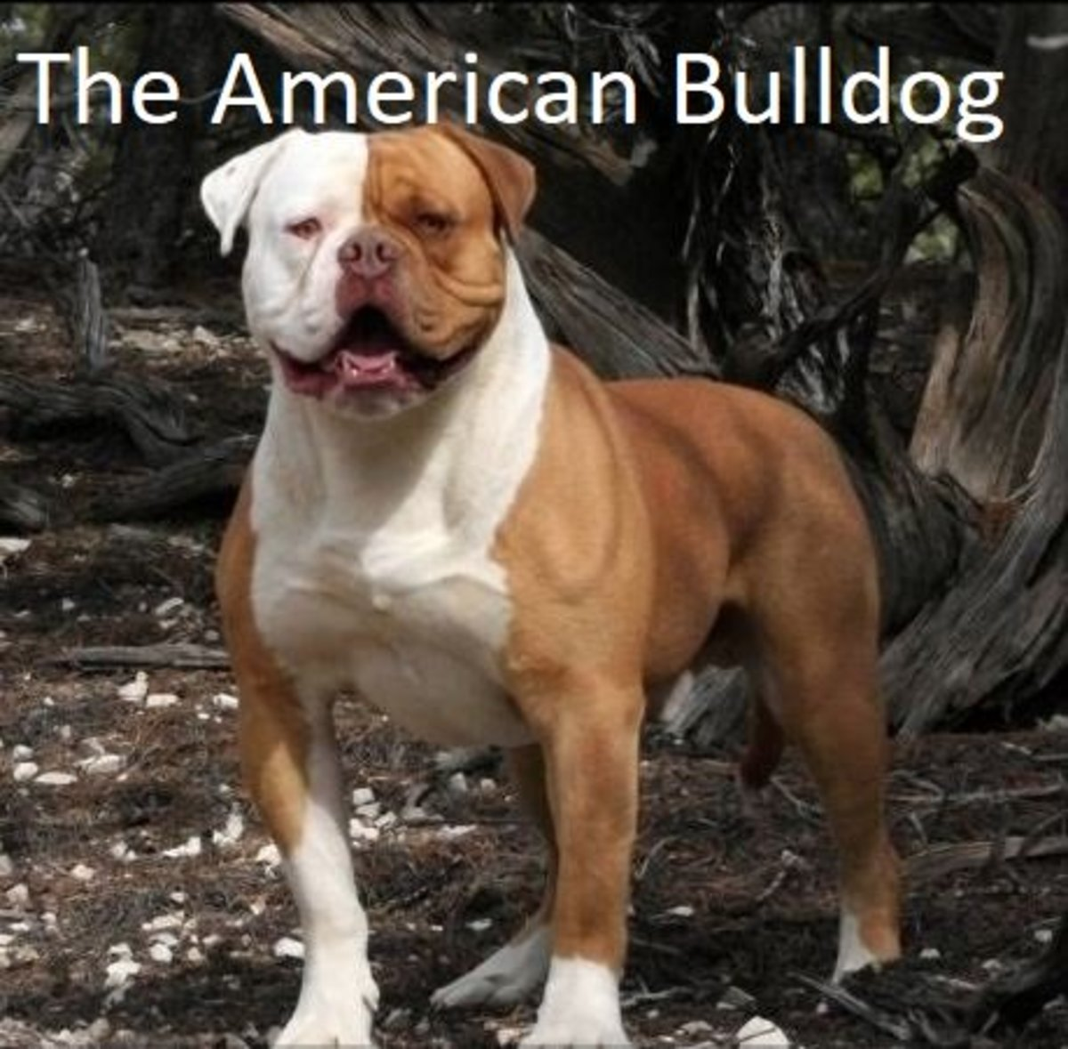 Amerikansk Bulldog User:Elad1987 - Own work CC BY-SA 3.0