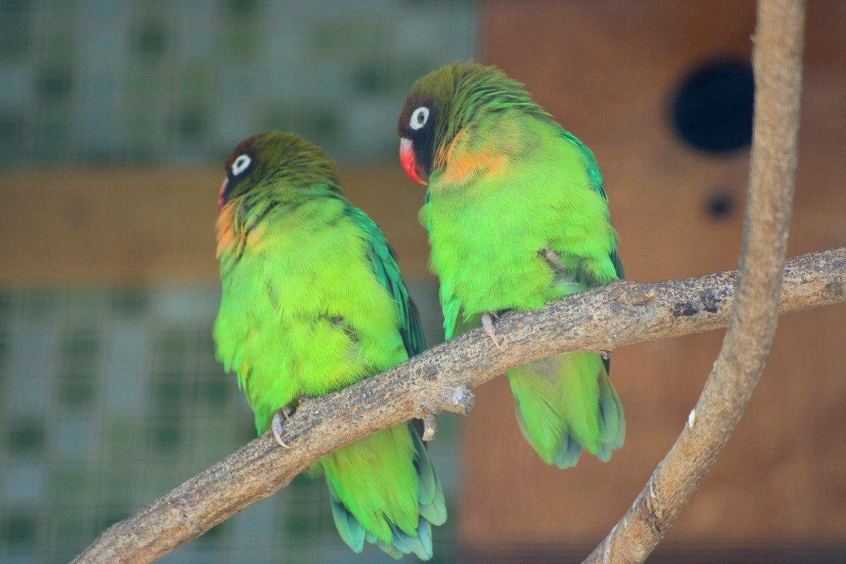 A pair of wild lovebirds; Image By Gediminas (Picasa Web Albums) [CC BY-SA 3.0 (http://creativecommons.org/licenses/by-sa/3.0)], via Wikimedia Commons