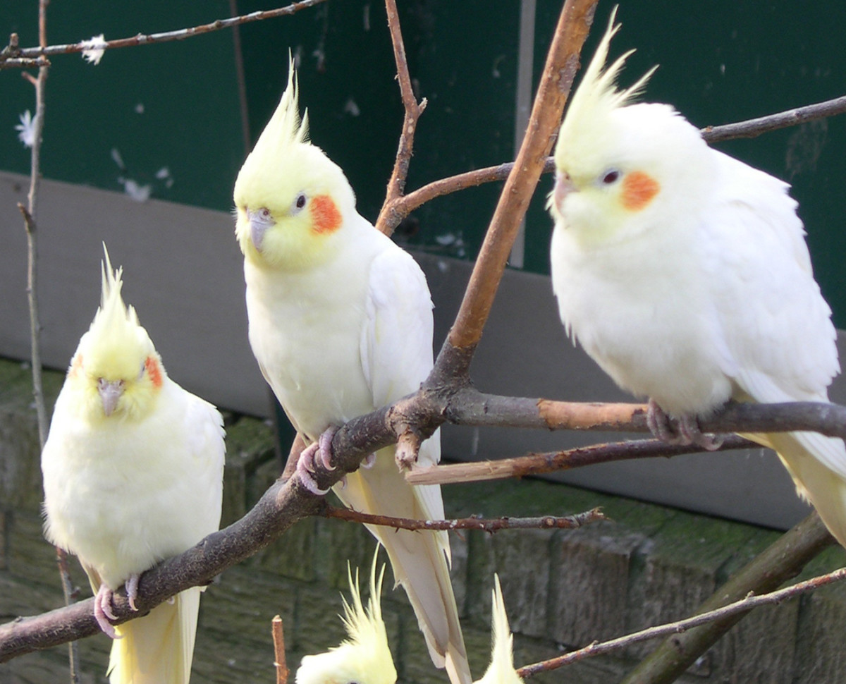 A group of bright yellow cockatiels