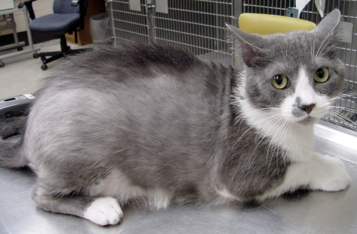 Areas of thinning hair can be seen on this cat's abdomen and back.