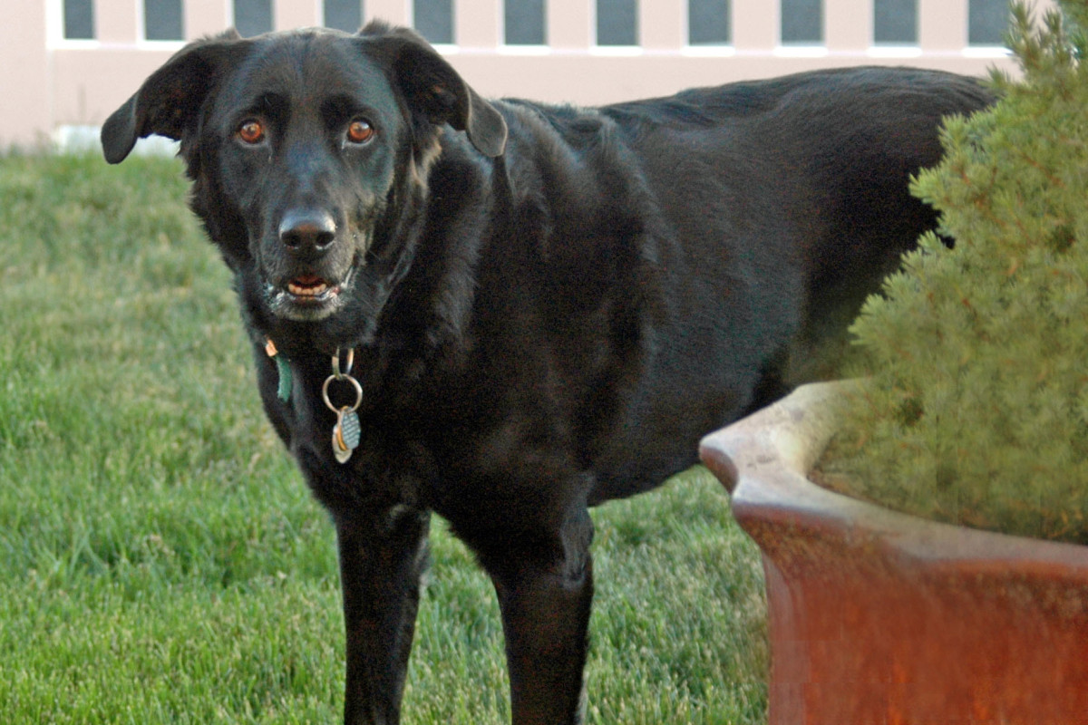 cushing-syndrome-in-dogs