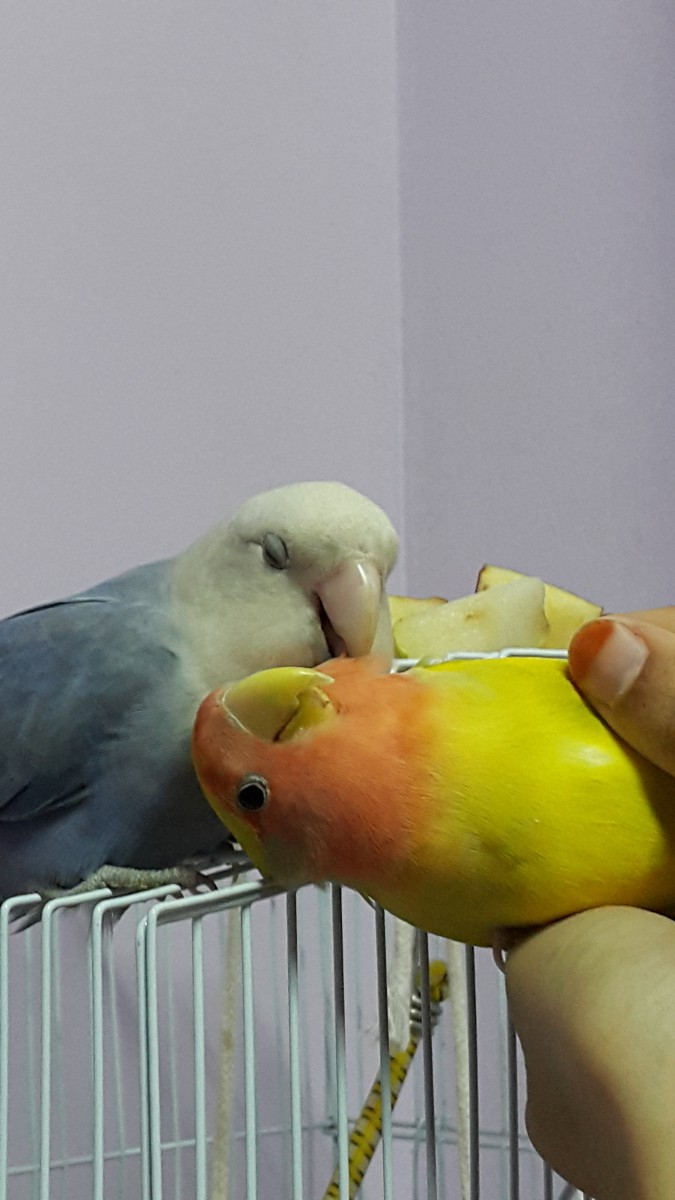 Mumu has this cute way of protesting when Lulu/anyone of us preen/stroke his cheeks. He makes small noises as if he is protesting, but loves to be preened very much.