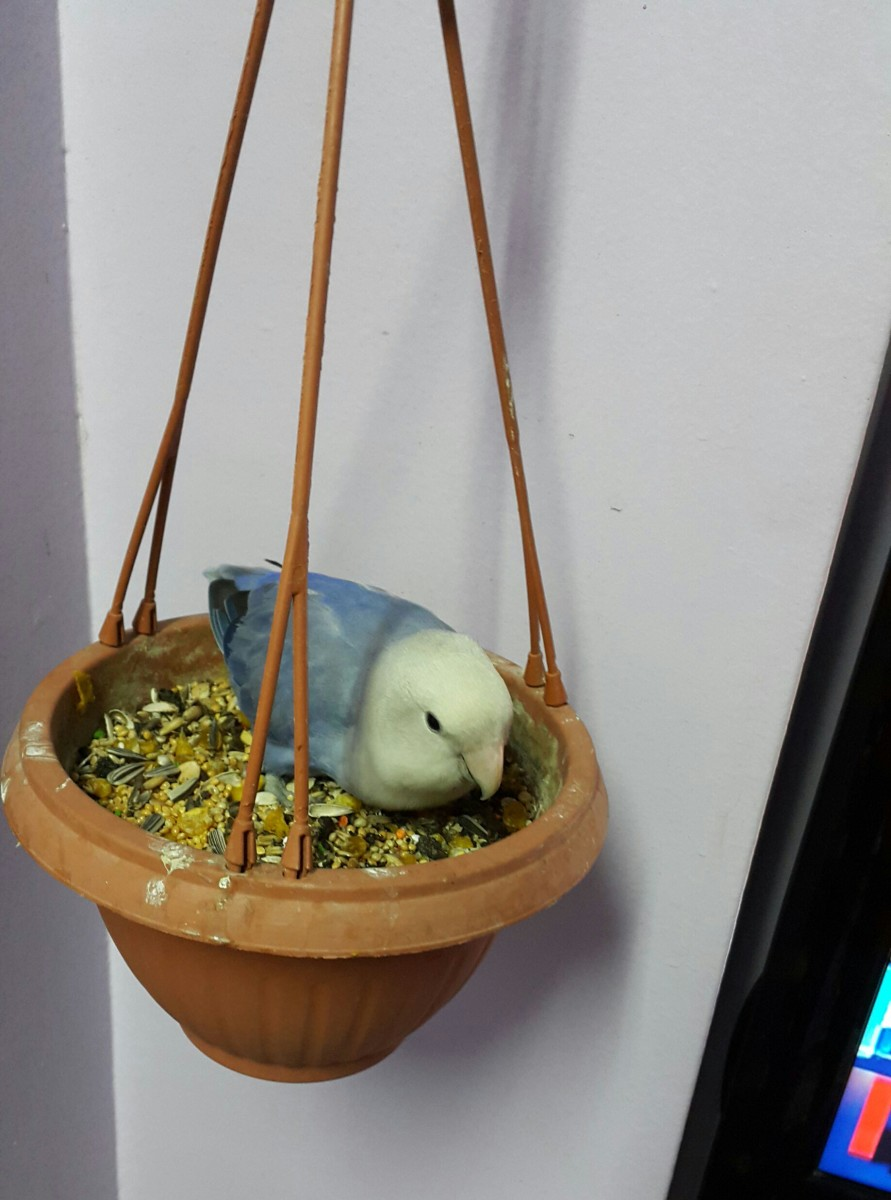 Female lovebird named Lulu eating seeds from money plant pot. She loves to sprawl and sleep here too!