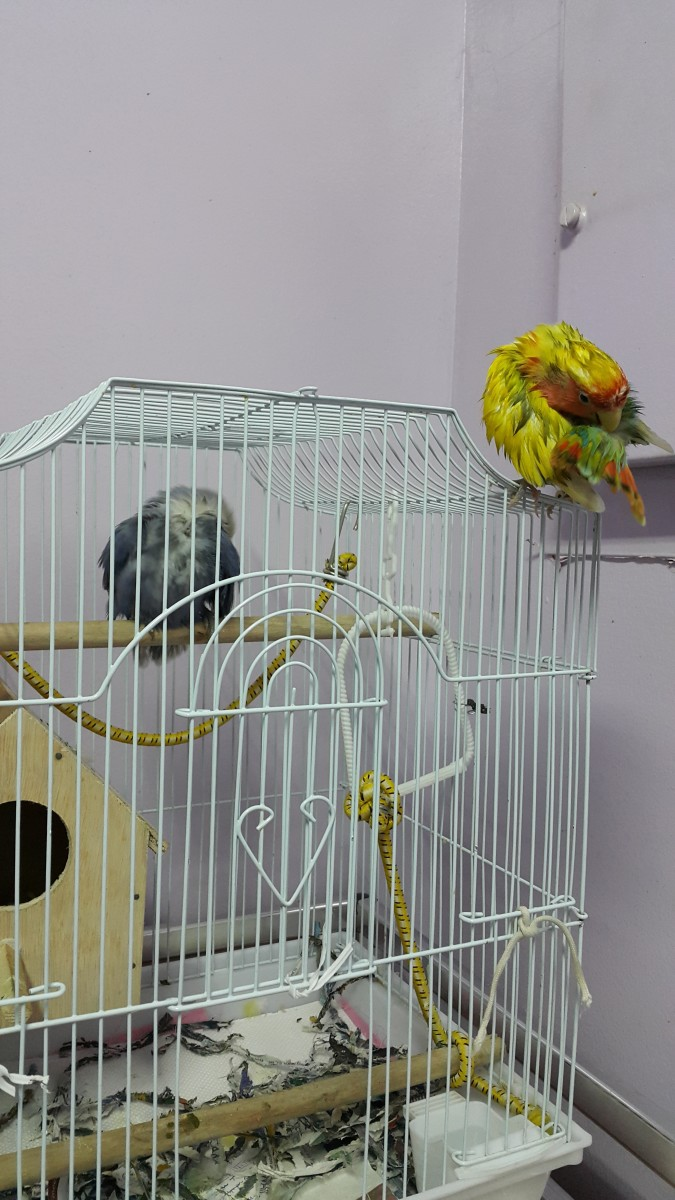 My lovebirds, Mumu and Lulu preening themselves after bathing.