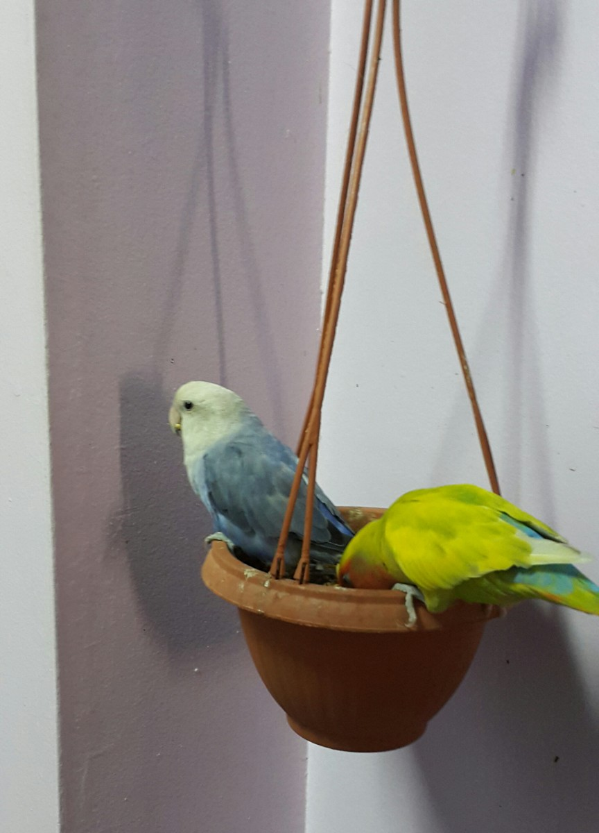 Two lovebird mates eating seeds together from a money plant pot.