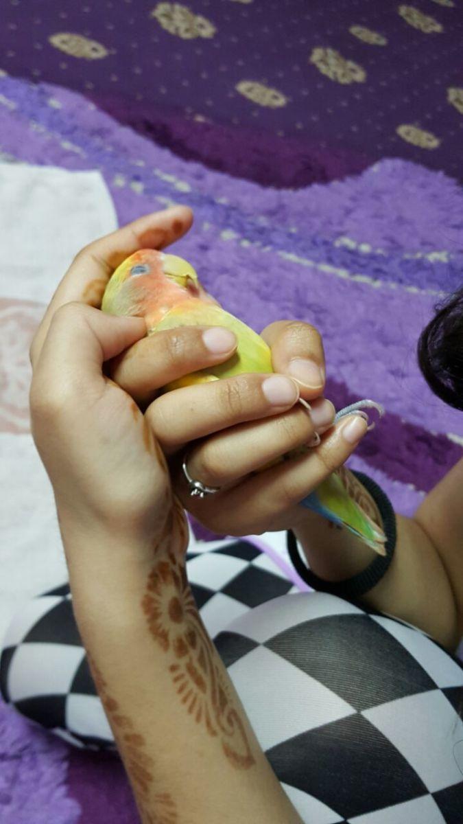 Cute peach faced lovebird named Mumu sleeping on my hand.