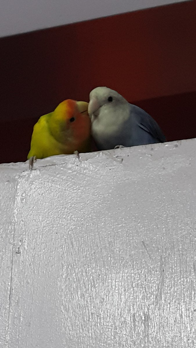 Picture depicting the closeness of two lovebird mates. The male named Mumu is building proximity with his mate Lulu.