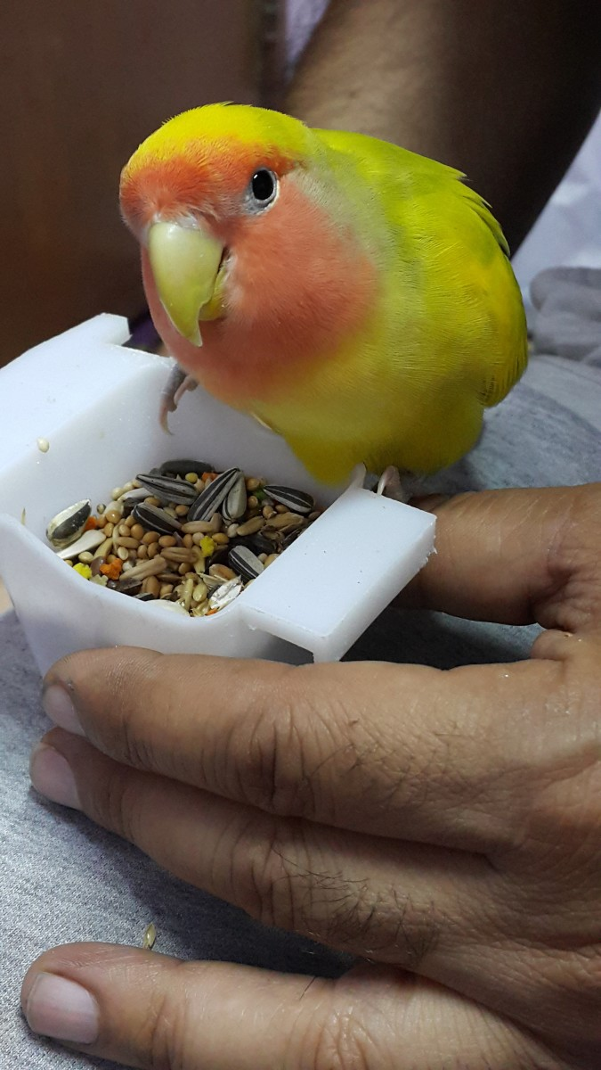 Picture showing an adorable medium green heavy pied peach-faced lovebird, named Mumu. The color is a mutation. The body is yellow with tinges of green, wings a mix of yellow with green spots, while the tail is a bright blue.