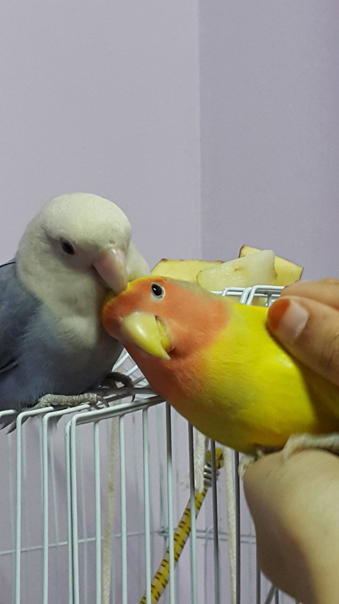 Adorable picture showing female lovebird Lulu preening the male Mumu.