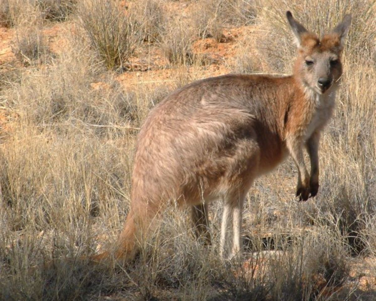 The Eastern Wallaroo; you can call him wally for short.