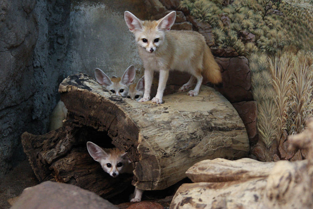 The fennec fox's ears are larger than his muzzle.