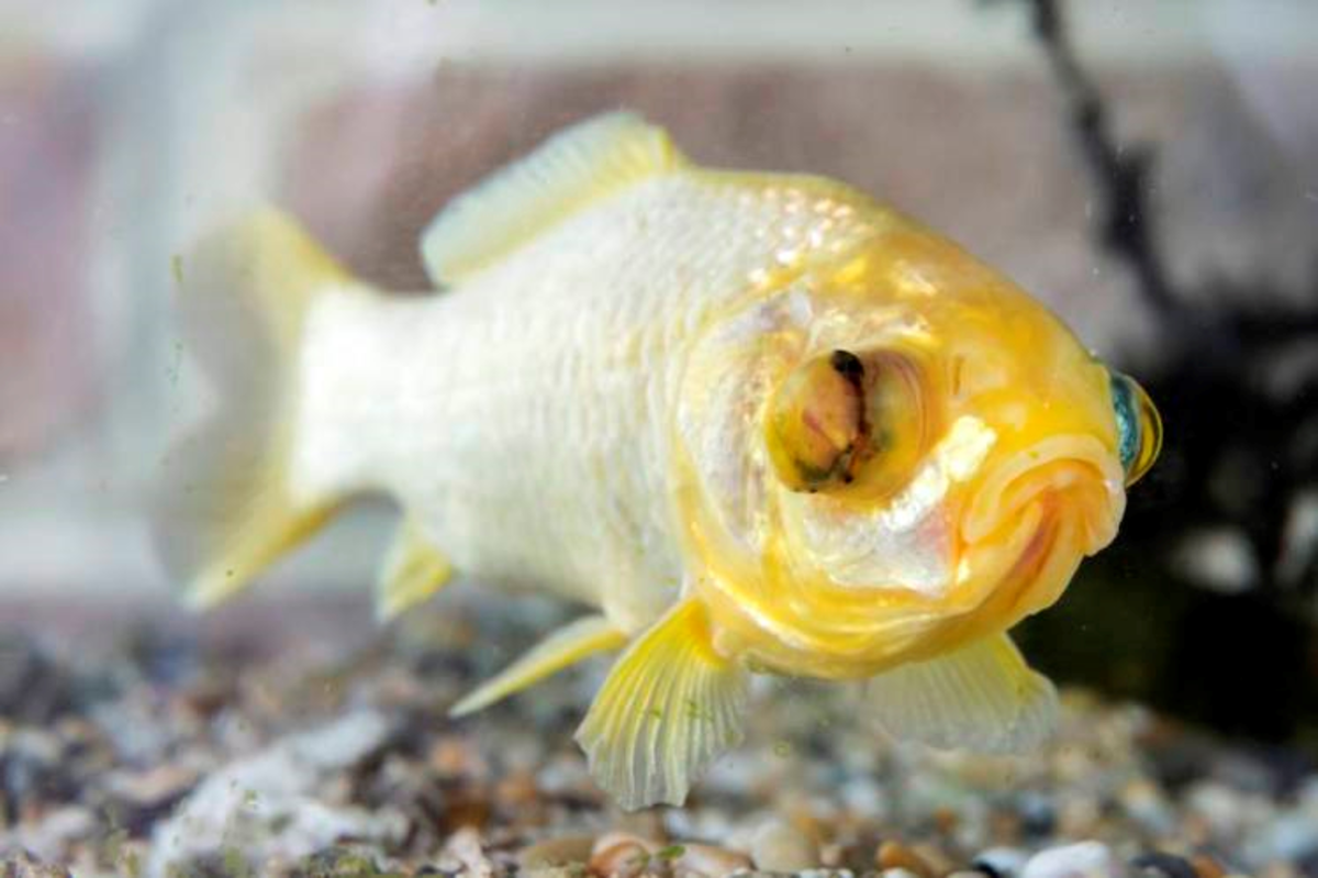Splash is probably the oldest living goldfish today.