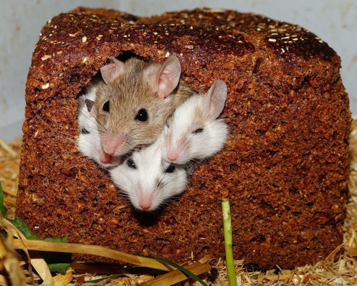 Rats and mice love grains, pasta, and bread - but make sure you give them these treats in moderation.