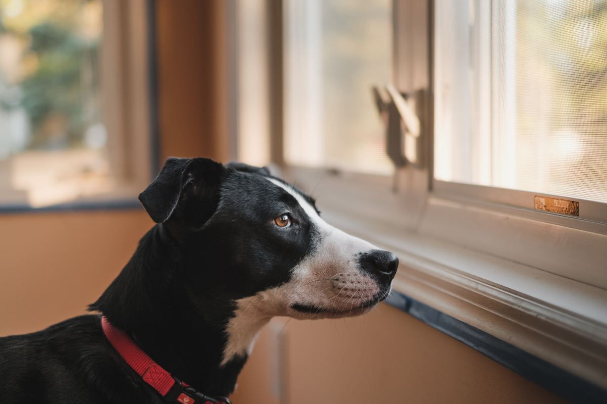 Medication can be used to treat separation anxiety in dogs.