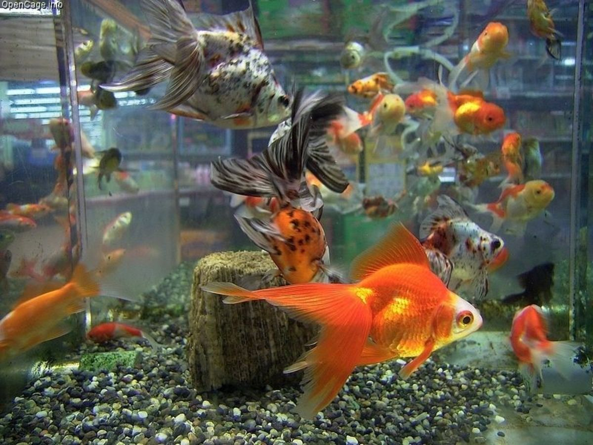 Goldfish in pet stores are often times over crowded in a tank. This is fine for the short term but shouldn't be their daily habitat.