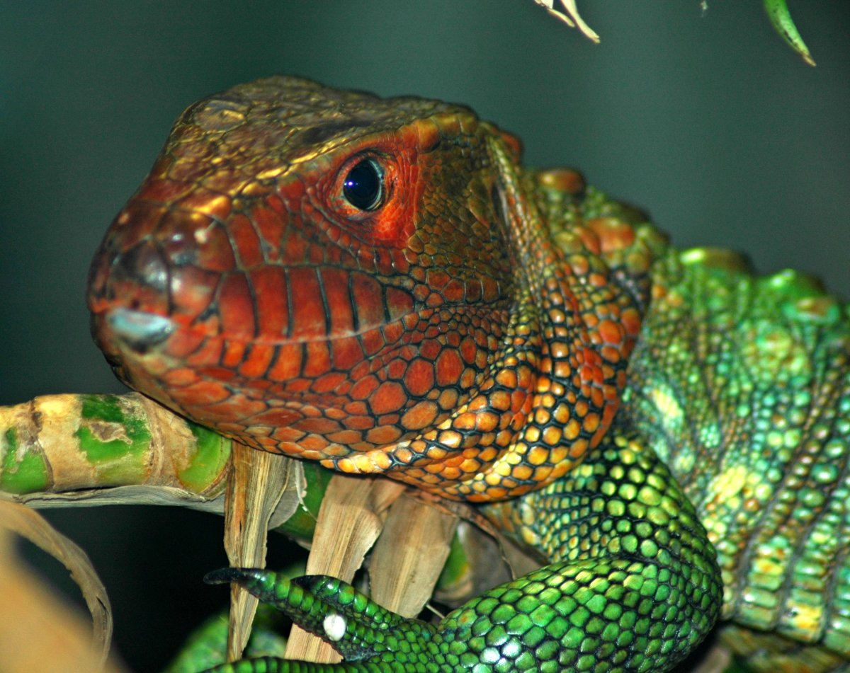10 Pet Lizards That Don't Need to Eat Live Food | PetHelpful
