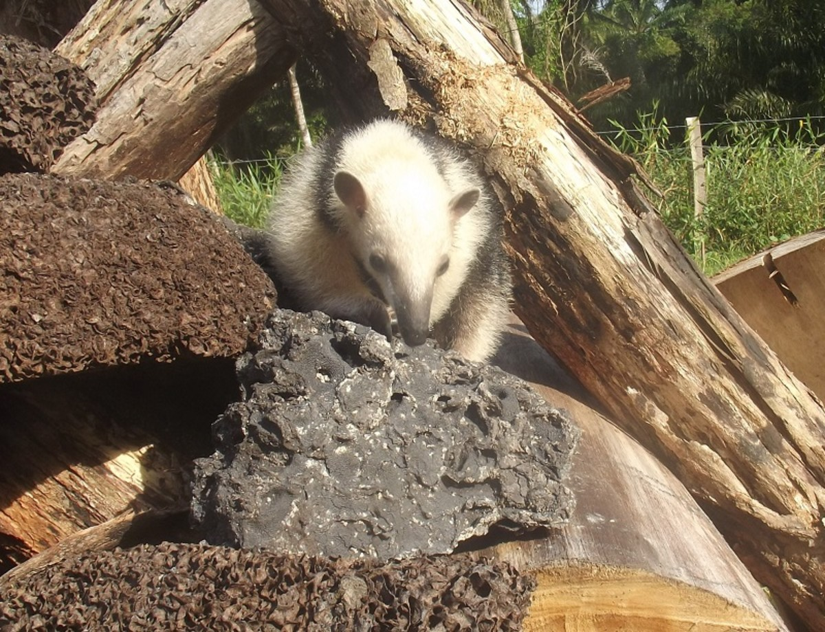 Tamandua searching for termites in her nest.