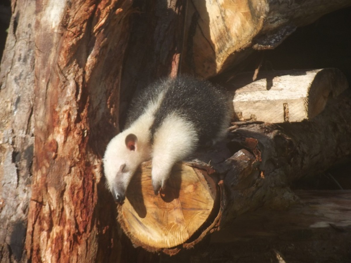 Tamandua napping in the sun after a big breakfast of termtes. What could be better?