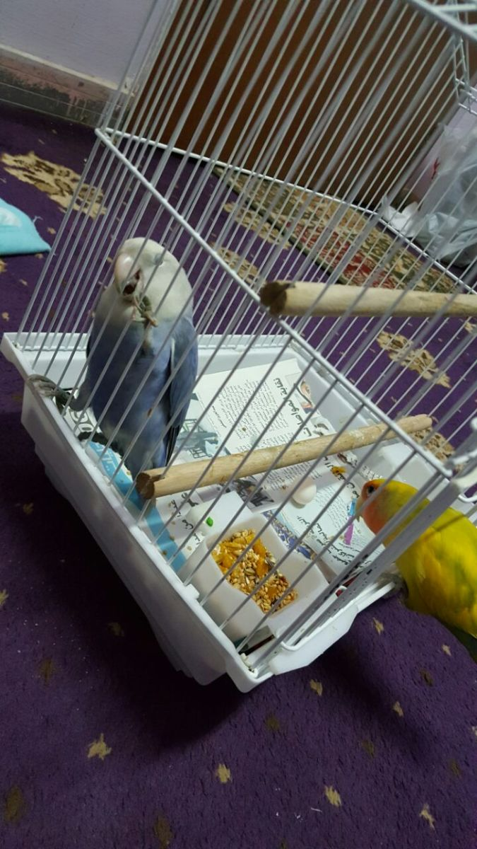 Mumu, my male lovebird, went to see the egg laid for the first time. He wagged his tail out of happiness.