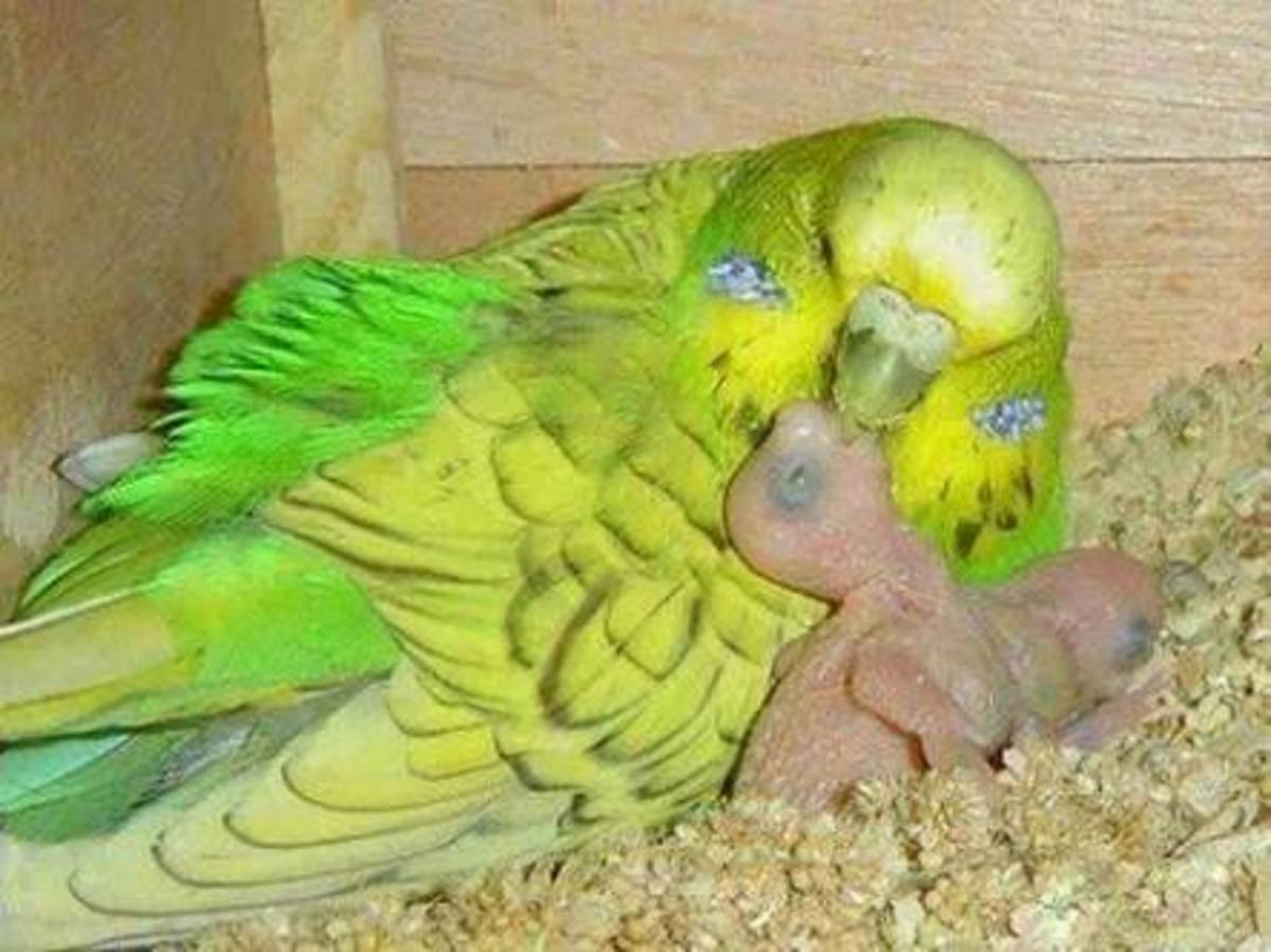 Breeding budgerigars budgies or parakeets pethelpful would you like me to upload my personal egg food recipe or the soft food that i use forumfinder Gallery