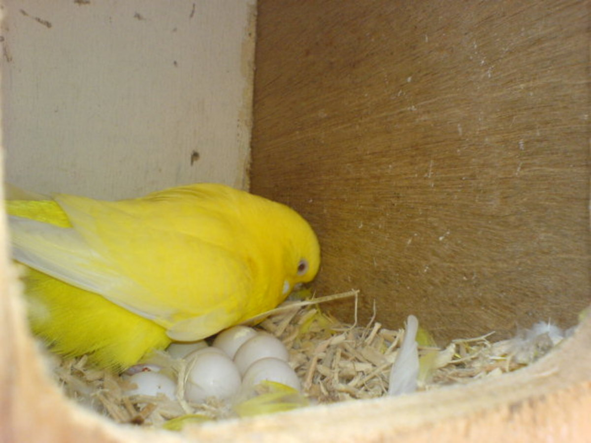 This is a budgie hen and her eggs inside a breeding box.
