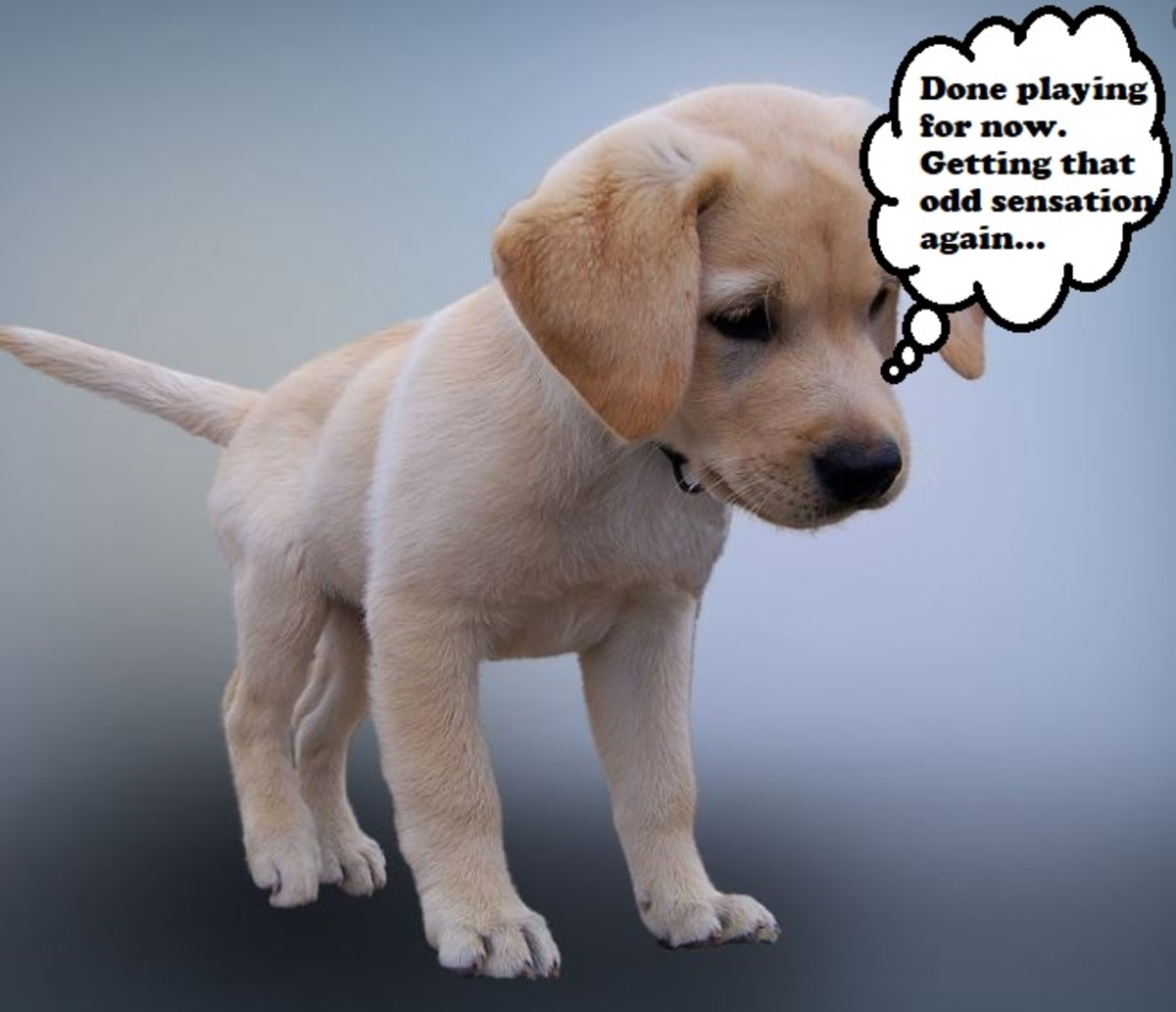 Puppies will abruptly stop an activity when they feel the urge to go.
