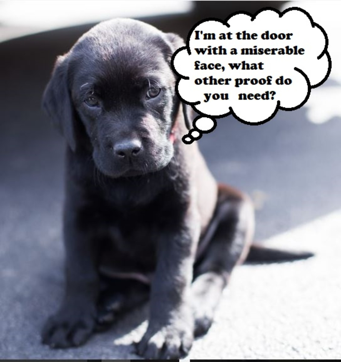 Puppies will start to associate the outside with pottying and may indicate the need to go by sitting by the door.