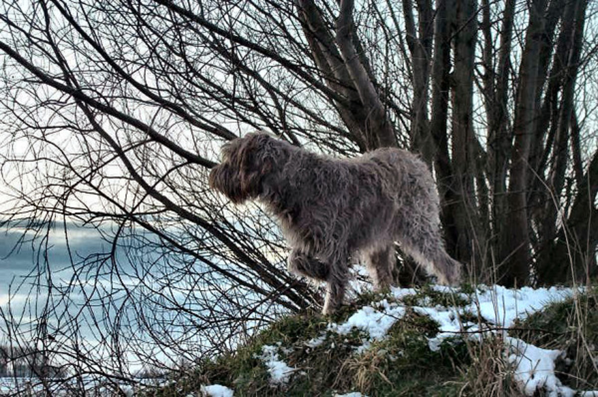 Our wirehaired pointing griffon (Griffon Korthals) Tsjip-February 2003