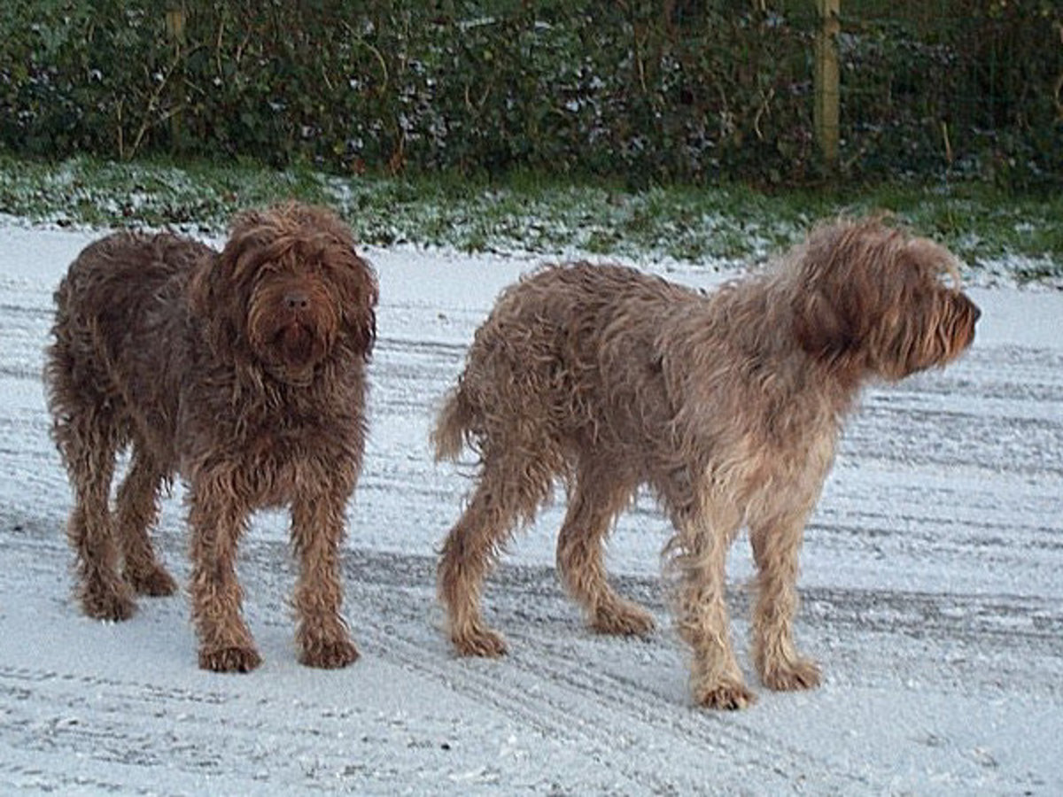 Our Wirehaired pointing griffons (Griffon Korthals) Tsjip and Sarah