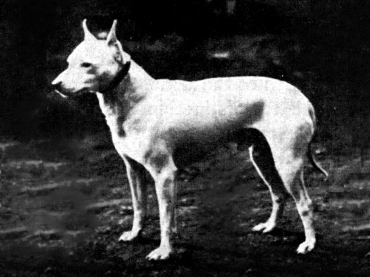 An old photo showing a more stocky example of the breed.