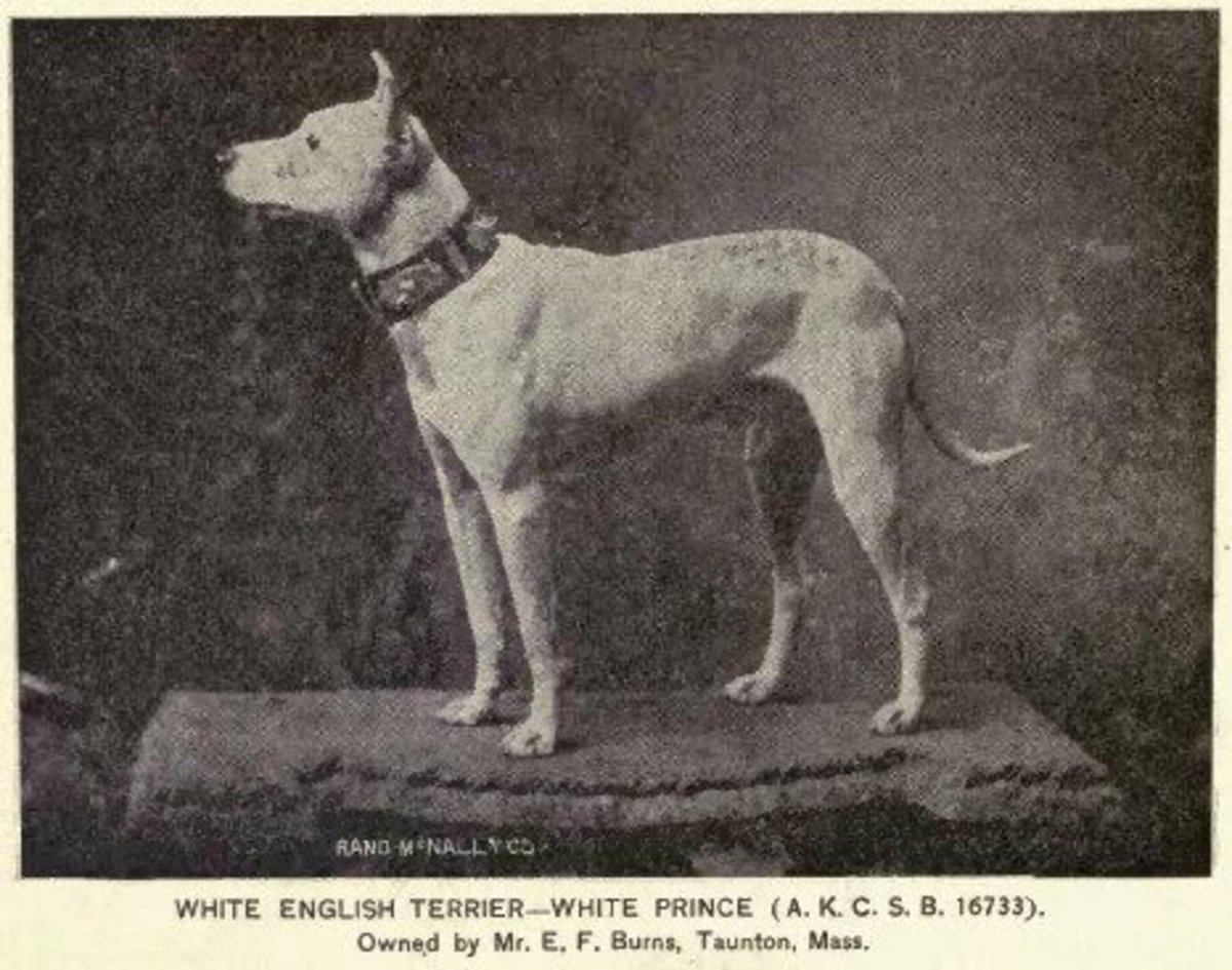 Taken in 1891, this image shows a dog called White Prince. The early physical traits of the Bull Terrier is already visible.