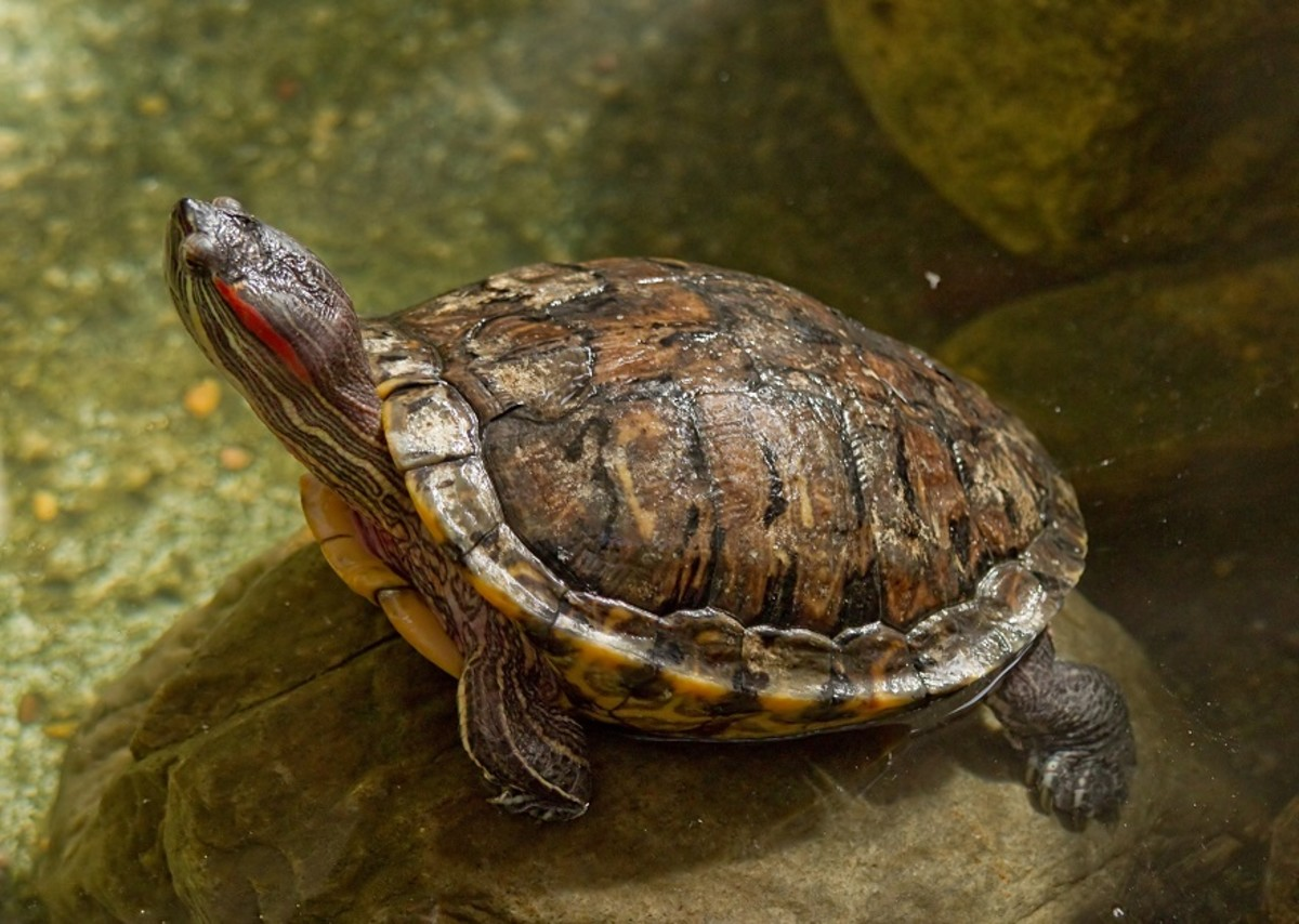 The red eared slider turtle is the most popular breed of pet turtle in the United States.