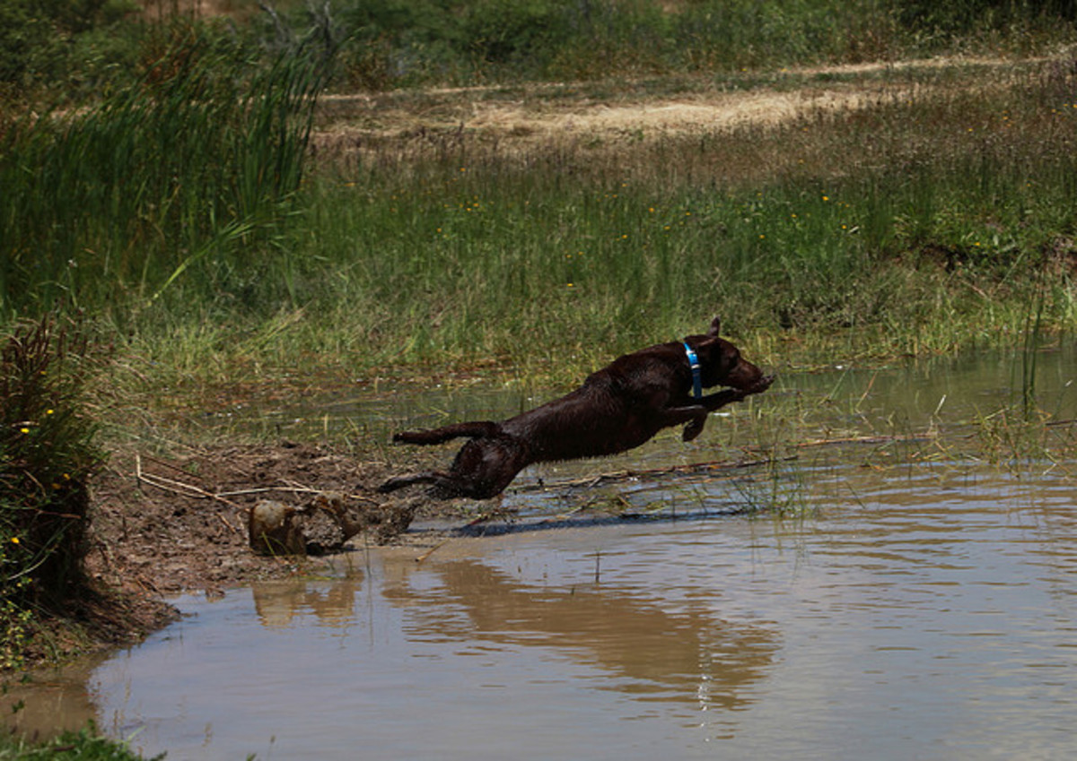 Hunting dogs like the Labrador Retriever are not suited to most quiet households.