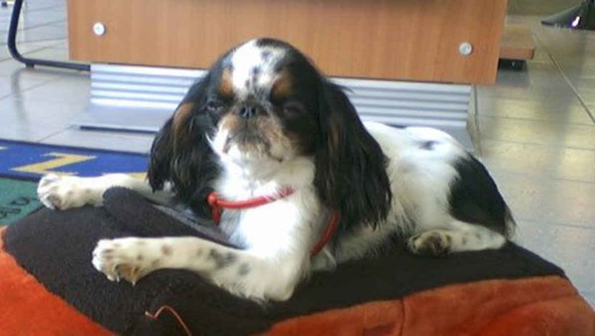 The English Toy Spaniel is a perfect choice for someone looking for a cuddly and affectionate dog.